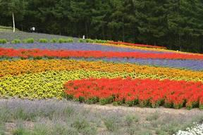 富良野花畑
